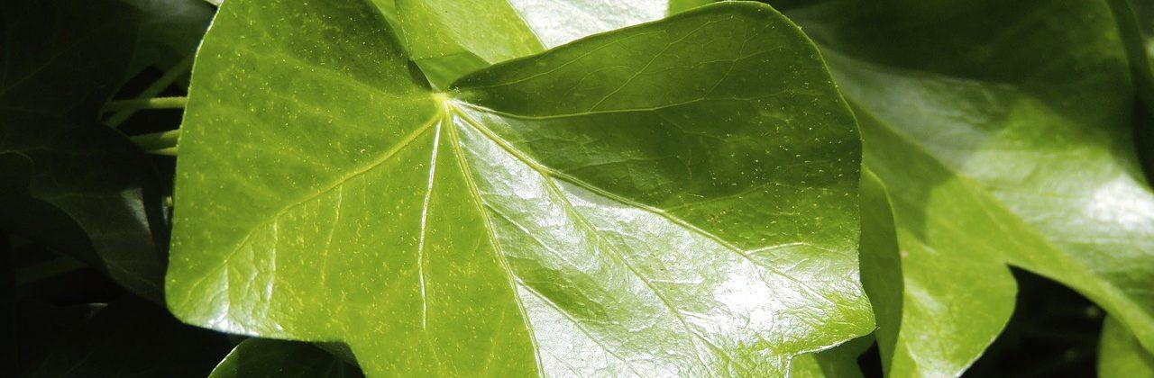 Rośliny pnące w salonie – jakie wybrać?