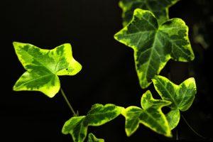 ivy-1701650_1280